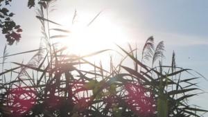 Sonne hinter Schilf mit roten Kugelspiegelungen
